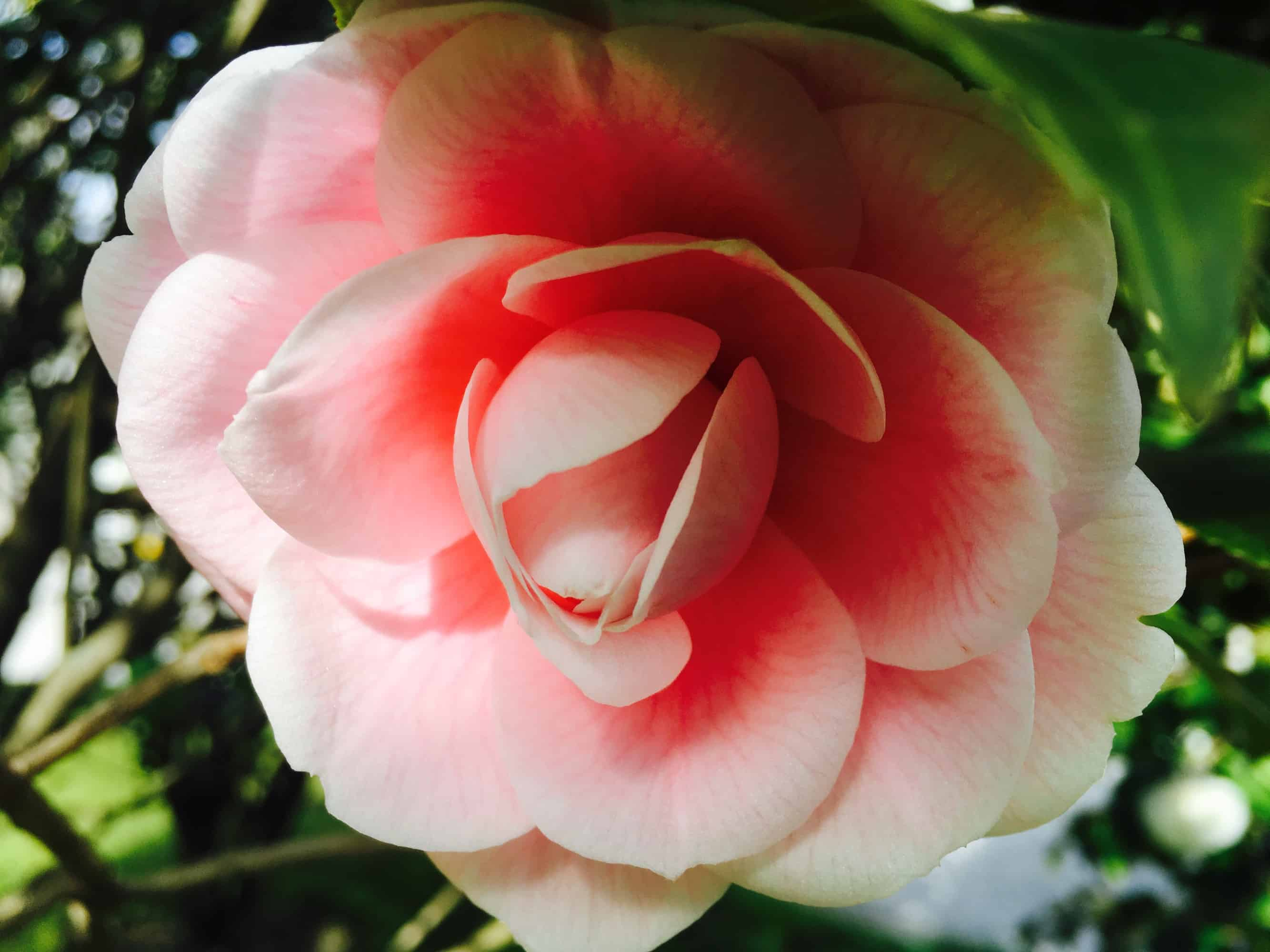 Bellagio pink camelia